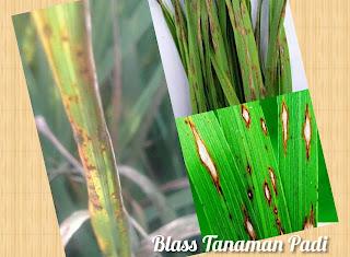 Penyebab Blass pada tanaman padi
