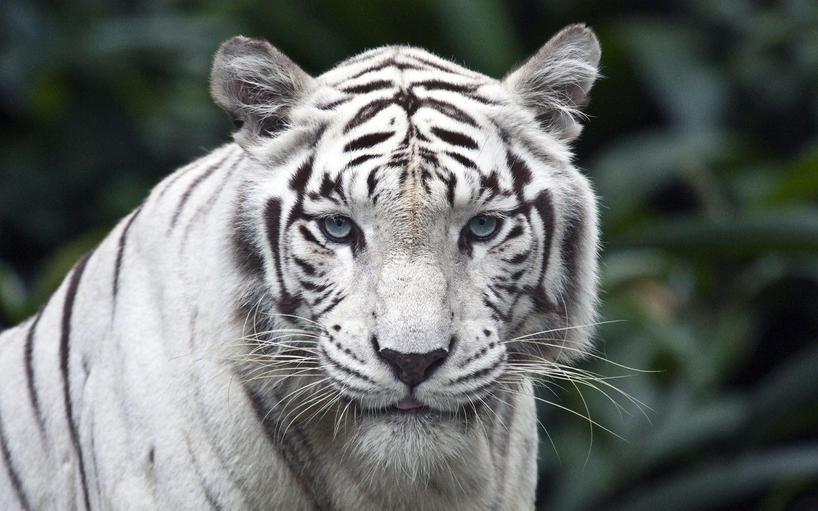 9e8a6bf0f3c6a Fondo de Pantalla Animales Tigre blanco