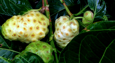 Noni fruit eating to diet