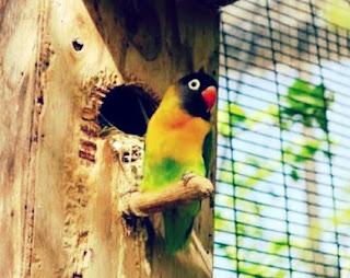 Jenis Burung Lovebird Dakocan