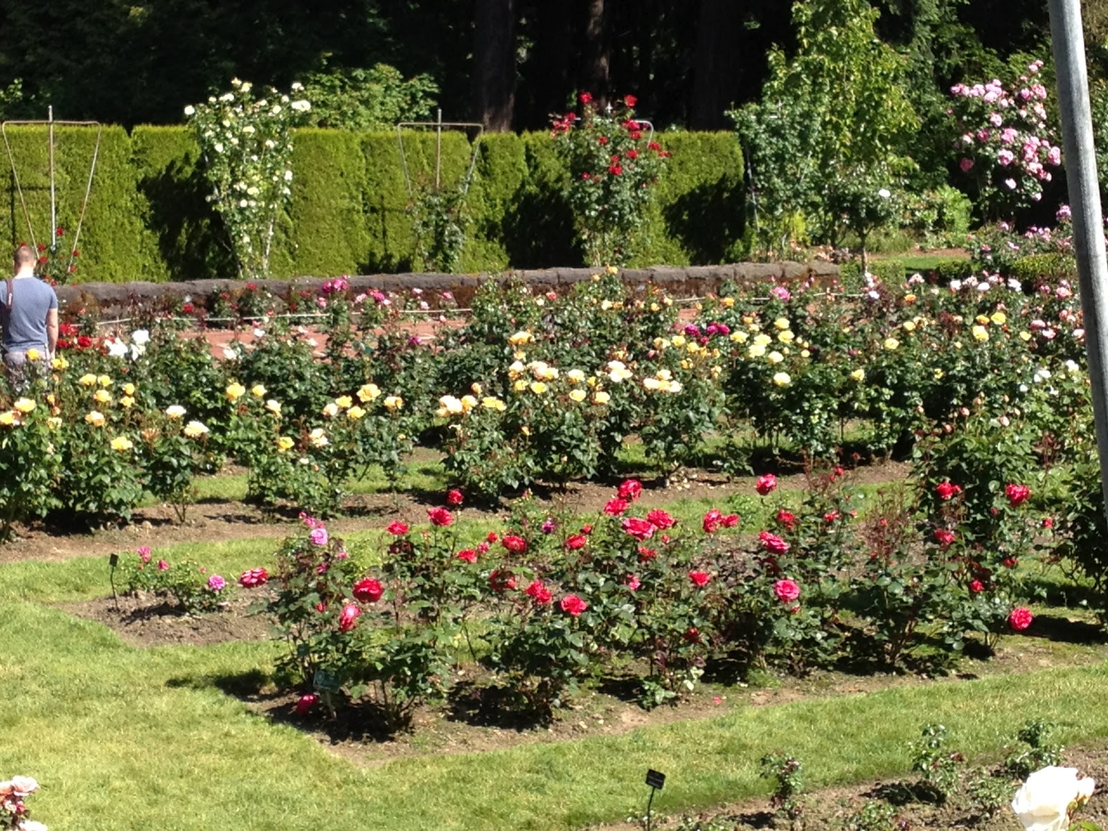 Roses In Garden: Nana's Moments: Beautiful Rose Gardens In Portland
