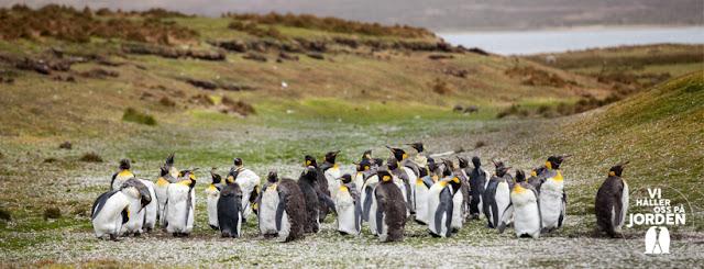 Foto på pingviner