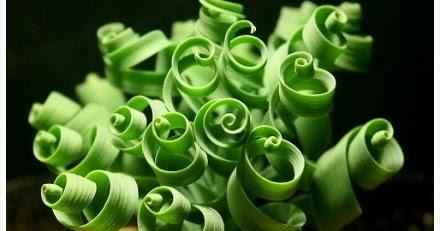 Curly Succulent Quot Moraea Tortilis Quot