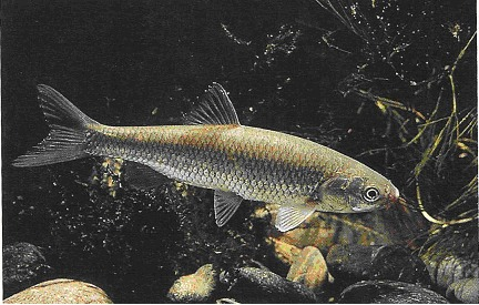 Laghetto di basiglio i pesci del laghetto di basiglio for Pesci laghetto