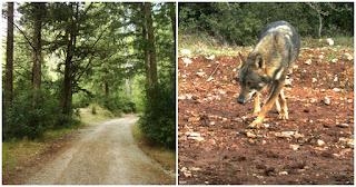 Οι λύκοι εμφανίζονται ξανά στη Πάρνηθα μετά από 50 χρόνια εξαφάνισης