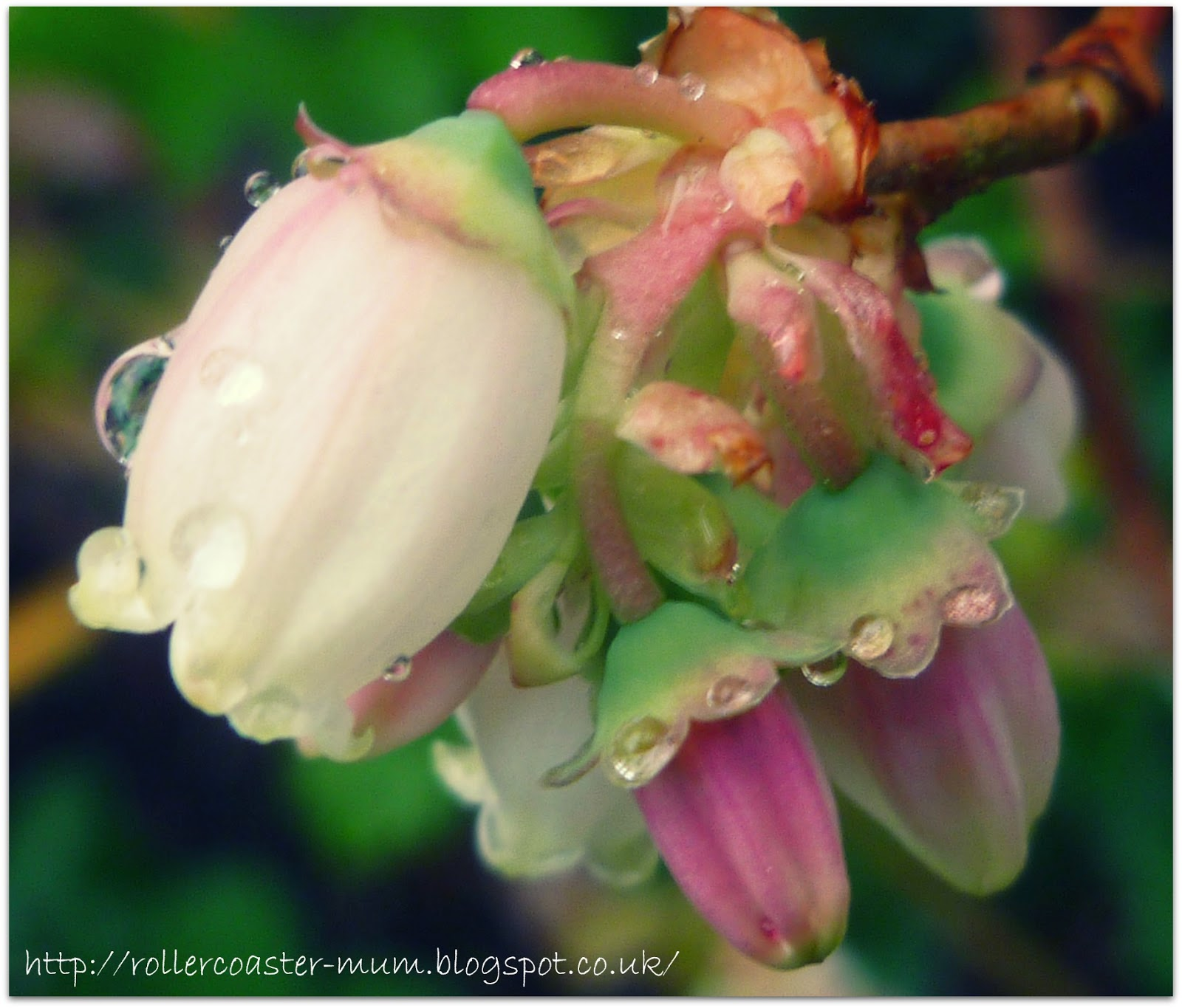 raindrops on Blueberry flowers