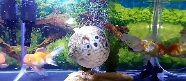 Gambar Ikan Buntal Lucu dari Jenis Air Laut tidak Beracun