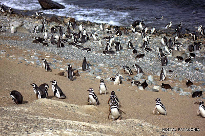 Penguin colony at Isla Magadalena, near Punta Arenas