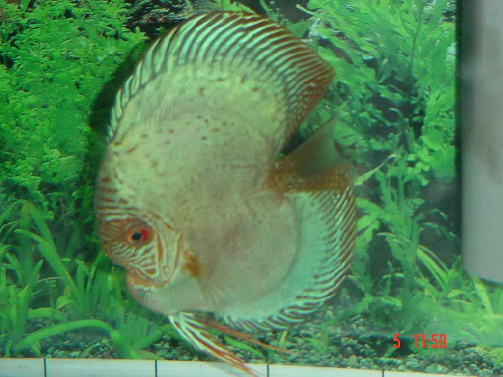 Bulldog Discus Fish Cichlid Lover