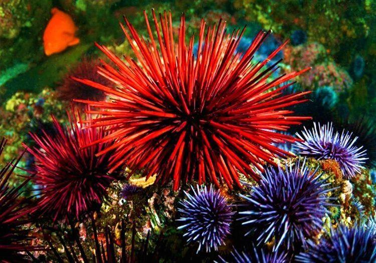 Bu deniz kestanesi, çiçek kestanesi olarak da bilinir. Diğer kestanelerden farklı oldukça zehirli olmasıdır.