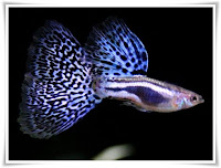 Guffy Fish Animal Pictures