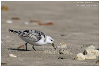 https://bioclicetphotos.blogspot.fr/search/label/B%C3%A9casseau%20sanderling%20-%20Calidris%20alba