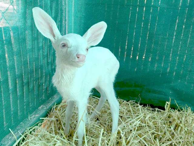 Tiny Albino Baby Deer Was Found Stranded In The Middle Of The Road
