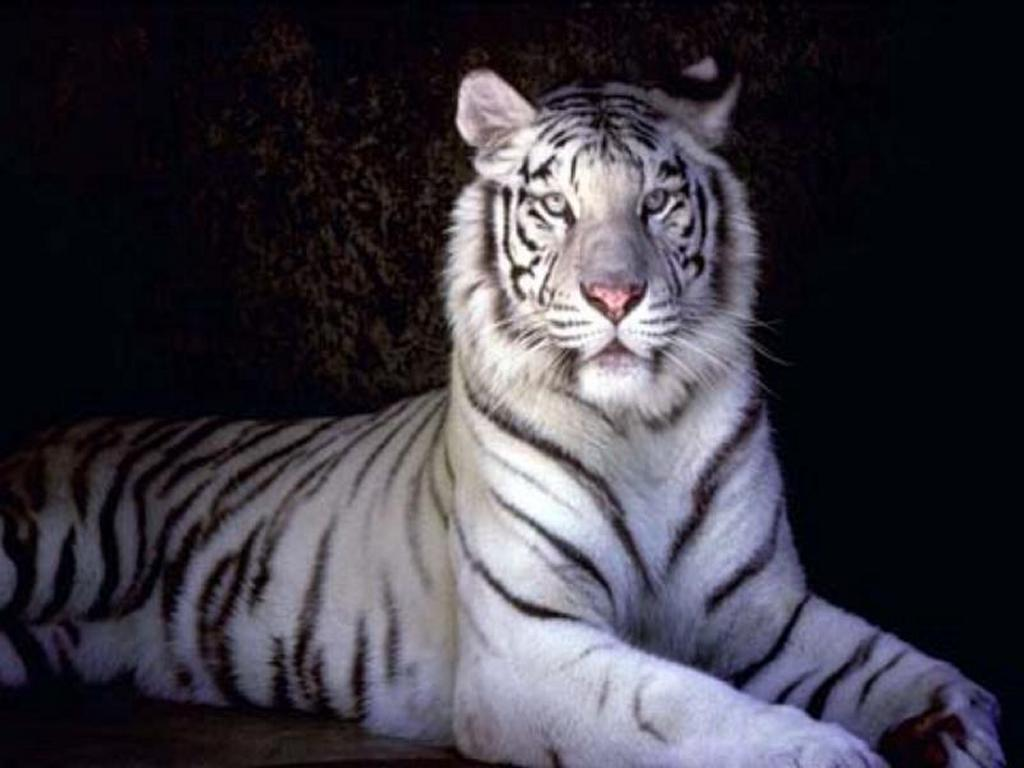 Coloration Oeil De Tigre Image Gallary 3 Beautiful White Tiger Wallpapers For