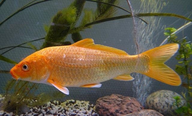 Cara Budidaya Ikan Mas Di Kolam Tanah Untuk Pemula