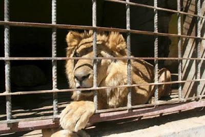 ضبط 5 اسود, منطقة ابو زعبل, نقلها الى حديقة الحيوان,