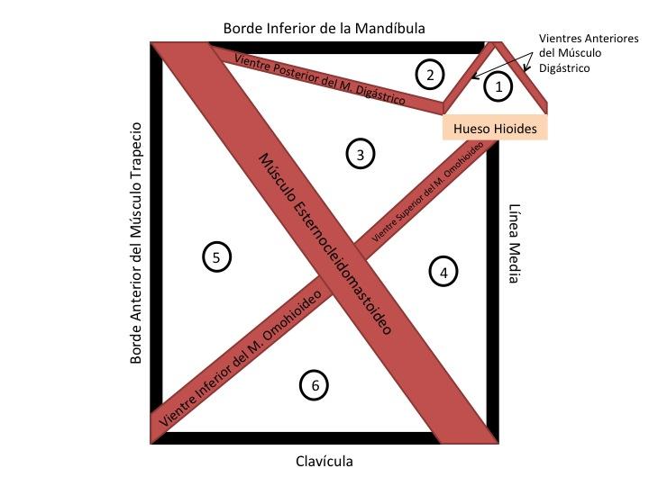 FCM-UNAH Anatomía Macroscópica: Triángulos del Cuello