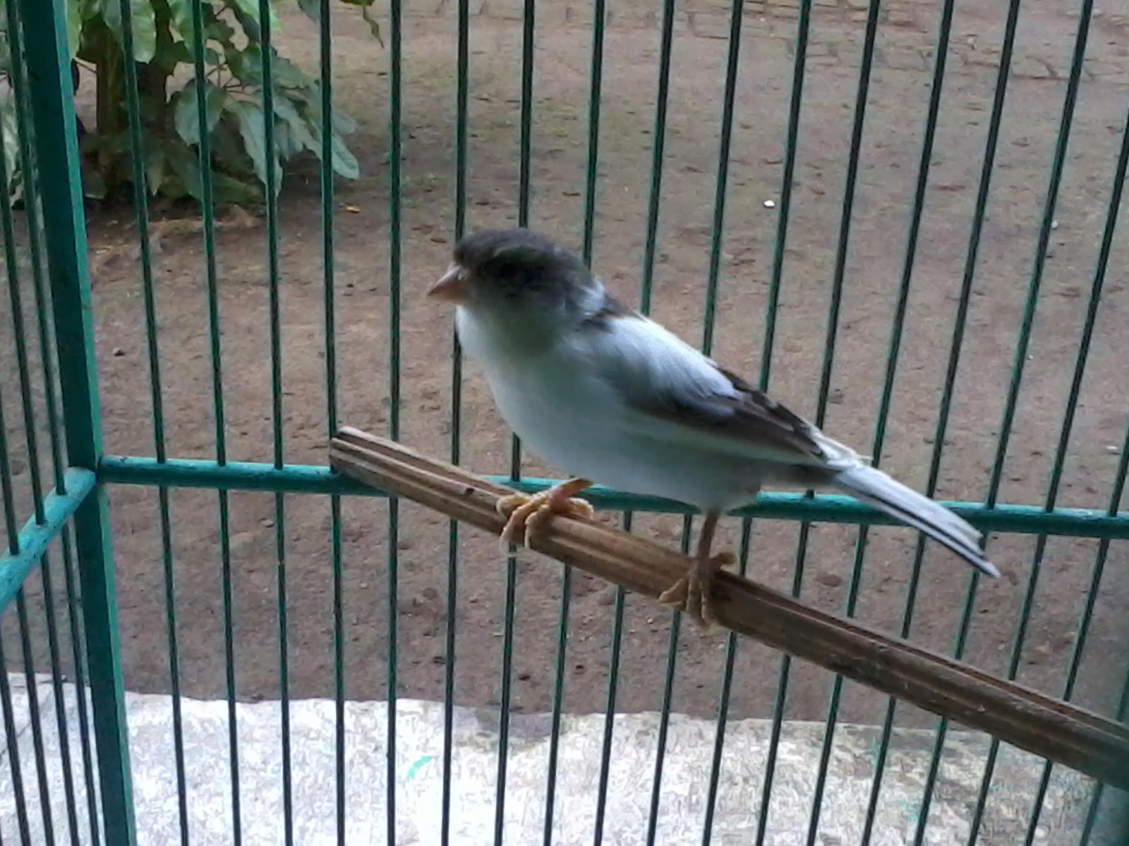 300 Gambar Burung Kenari Hd Gratis Gambar Id