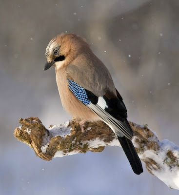 picture of a Jay