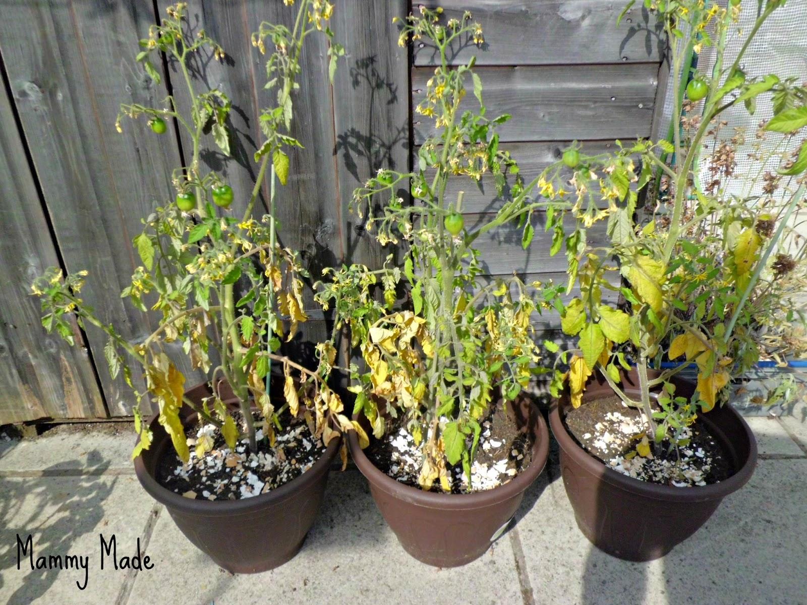 Mammy Made: My Homegrown Vegetable Patio Garden - Week 15