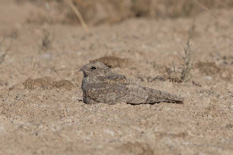 Egyptian Nightjar – Khafrah Marsh