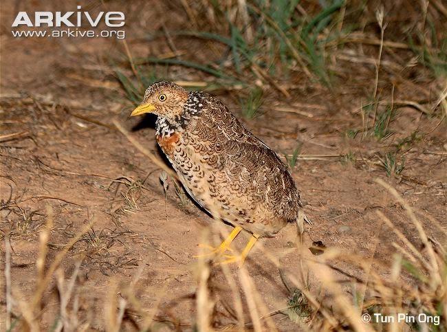 Llanero: Pedionomus torquatus