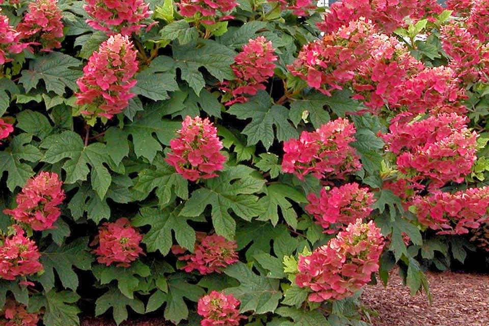 Ruby Slippers Oakleaf Hydrangea A Great Plant