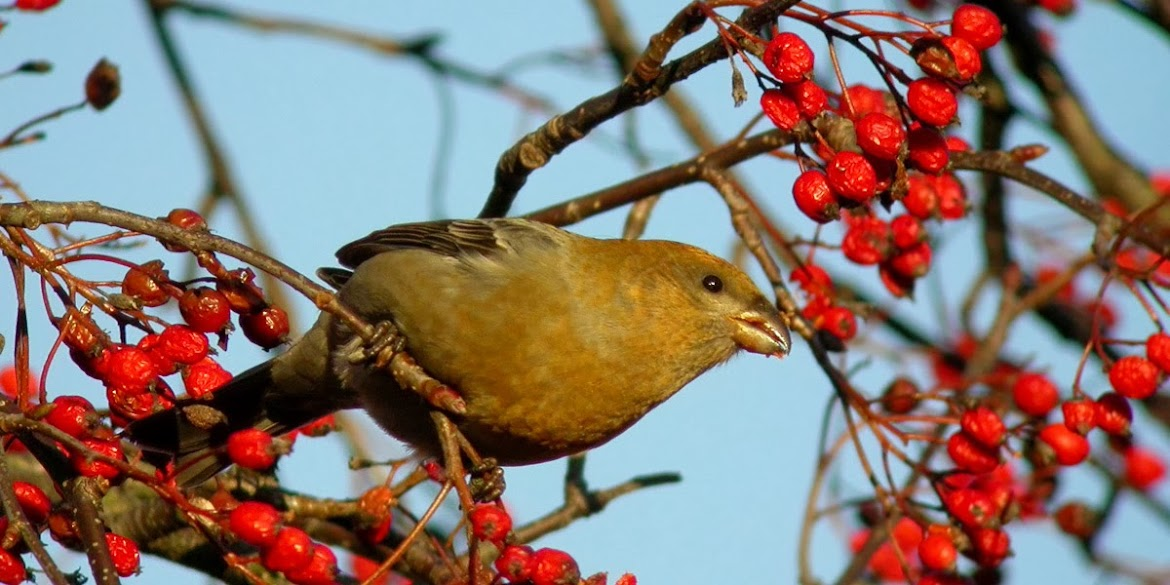Pine Grosbeak, Frederikshavn, December 2004