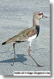 Southern Lapwing (Vanellus chilensis) Birds of Tobago