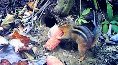 "Chipmunk Tries To Fit ""Square Peg Into Round Hole"""