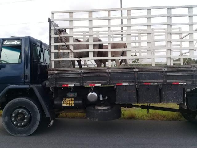 Prefeitura de Goiana intensifica operação para apreender animais soltos