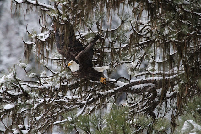 Bald eagle in winter.