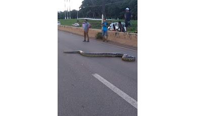 Ular anaconda menyeberang jalan
