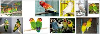 Jenis jenis burung lovebird yang populer dan paling di cari saat ini