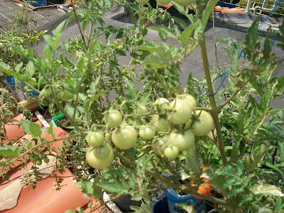 tomate cherry var. Balcony