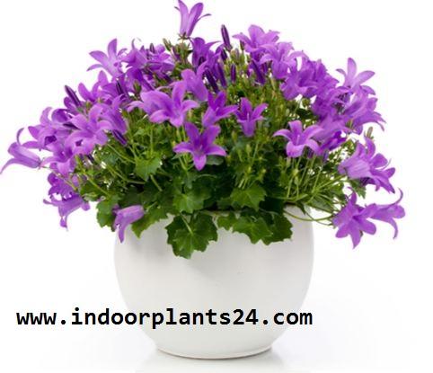 Campanulaceae FATAR OF BETHLEHEM Plant