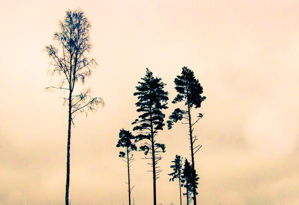yksinäiset puut metsä harmaa taivas koivu