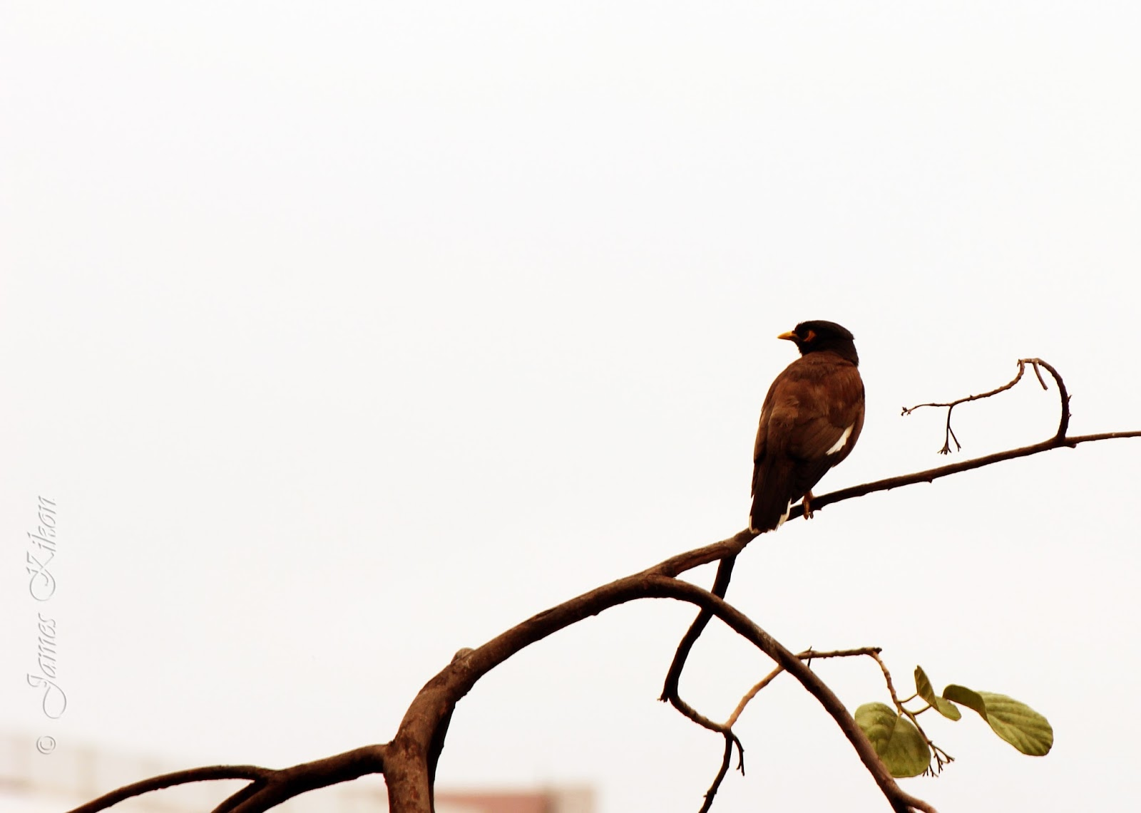 Bird Photography Myna Bird