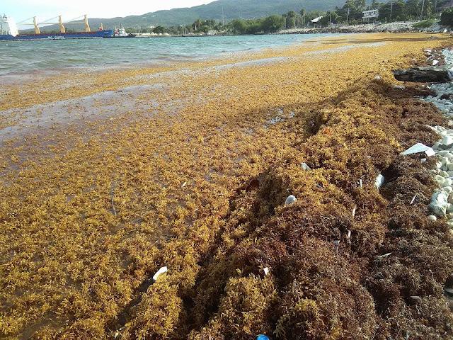 Algas Marina llegan nuevamente a la Playa Casita Blanca de Barahona