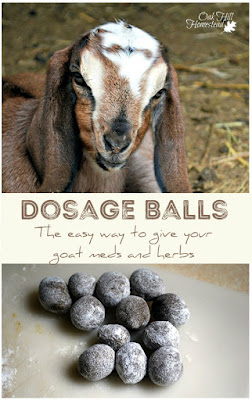 This is the easy way to give your goats their dose of herbal wormer, herbs or medications: make dosage balls for your goats..
