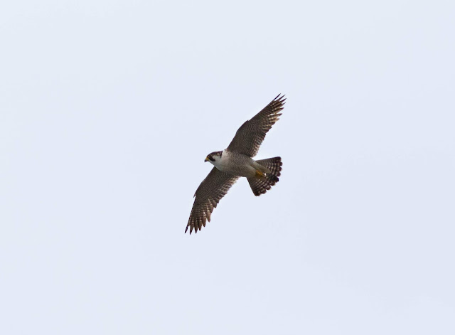 Barbary Falcon - Charco Verde, Tenerife