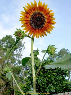 The Last Sunflower of Summer Autumn Beauty Sunflower Blossom Photographed September 19, 2013