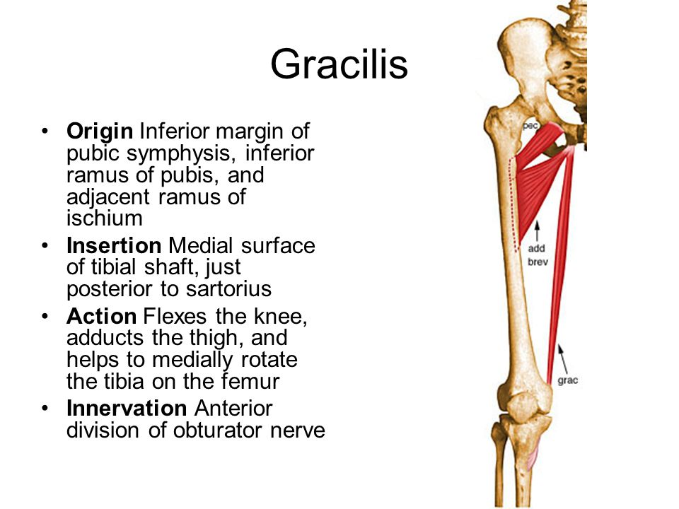 股薄肌(gracilis muscle) | 職能治療陪你居家復健