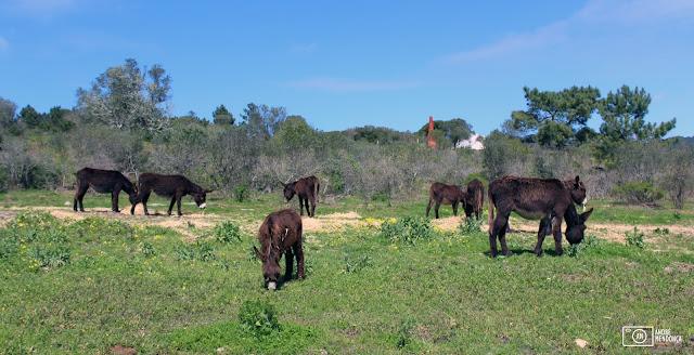 burros Lanudos da Quinta do Pisão