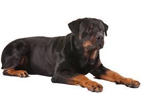 Anjing Ras Rottweiler