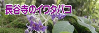長谷寺のイワタバコ
