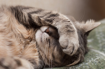 What Cat Owners Must Know: 4 Most Common Health Issues in a Cat