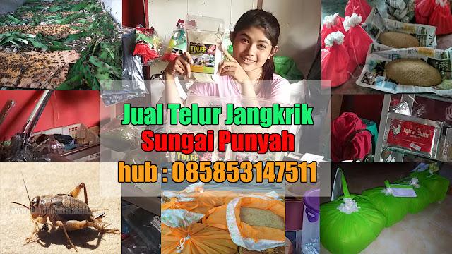 Jual Telur Jangkrik Sungai Pinyuh Hubungi 085853147511
