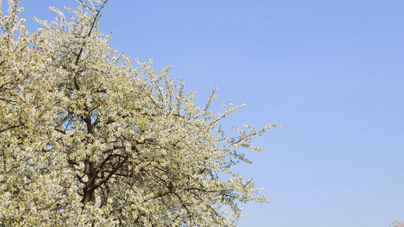 Boom met witte lente bloesem