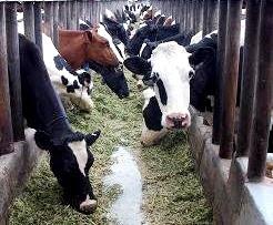 Foto de vacas encerradas en el establo